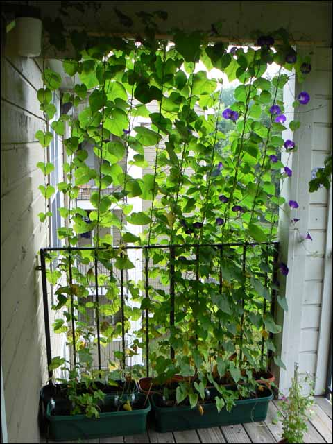 Vines privacy screen