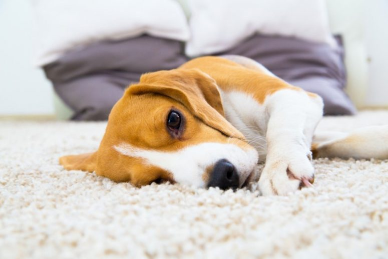 Carpet Flooring for Dogs