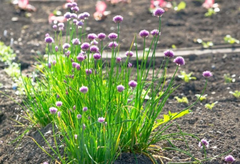 Chives Plant Flowering