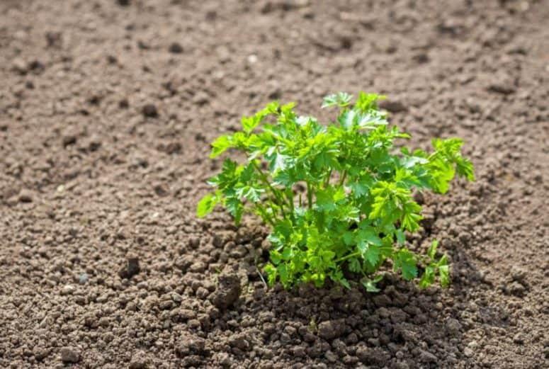 Growing Parsley Outdoors