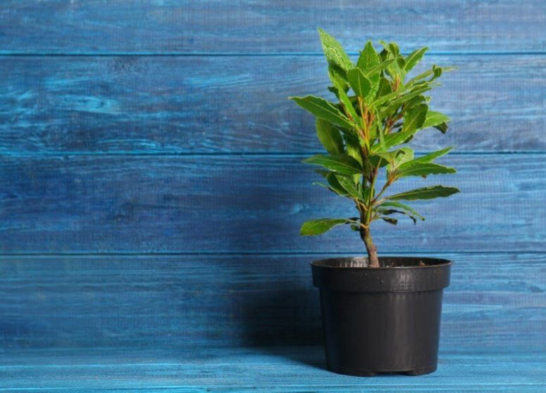 How to Grow Bay Laurel Easily