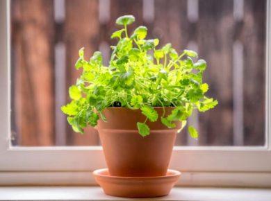 How To Grow Cilantro Easily