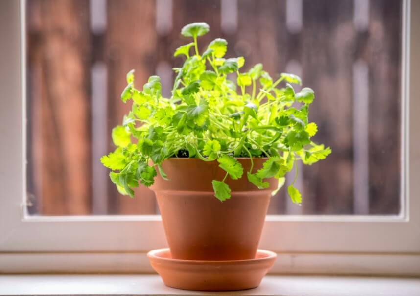 How to Grow Cilantro At Home (A Beginner's Guide)
