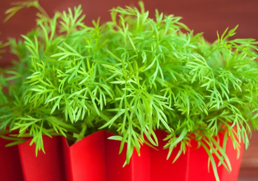 How to Grow Dill At Home (A Beginner's Guide)