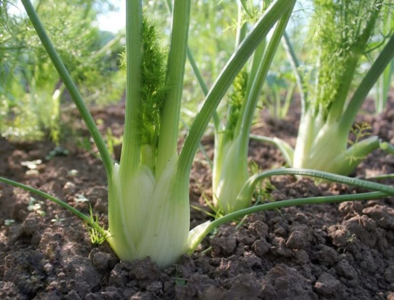 How to Grow Fennel Easily
