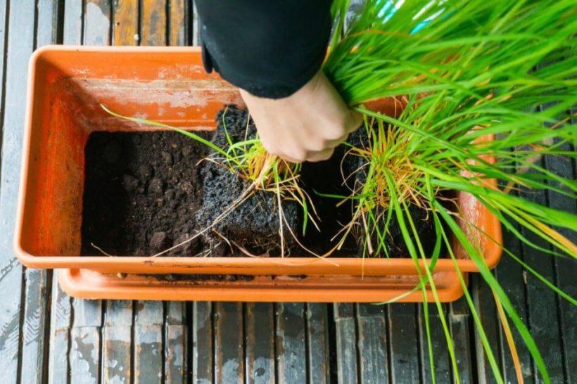 How To Grow Lemongrass Easily