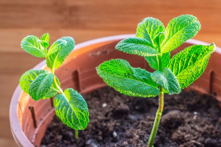 How to Grow Mint At Home (A Beginner Guide)
