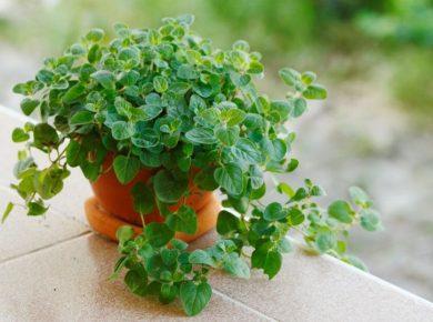 How To Grow Oregano Easily