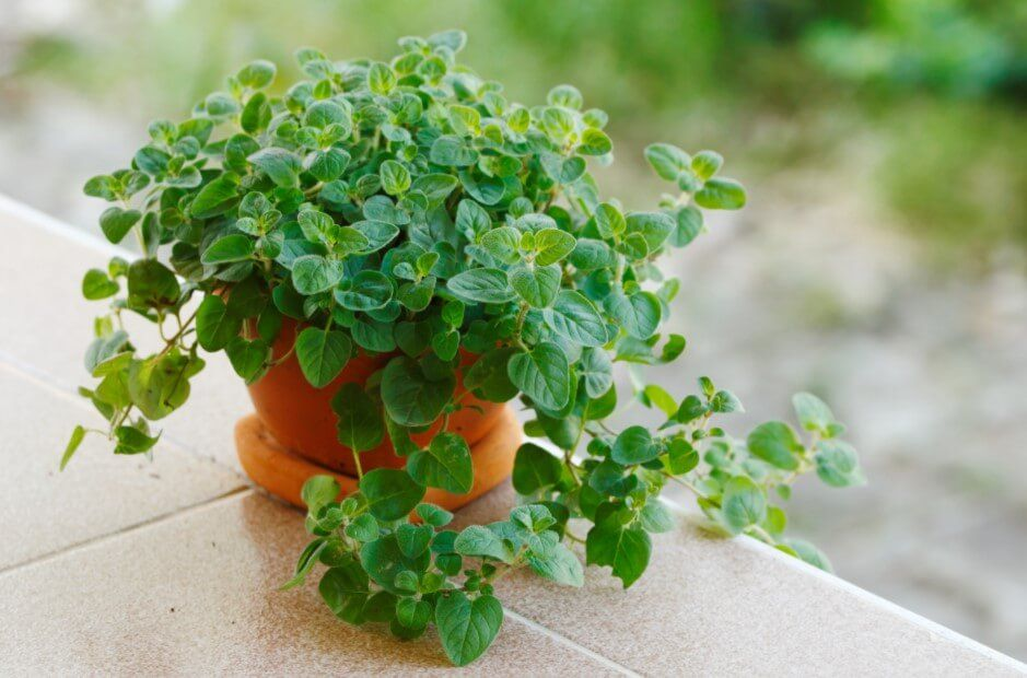 How to Grow Oregano At Home (A Beginner Guide)