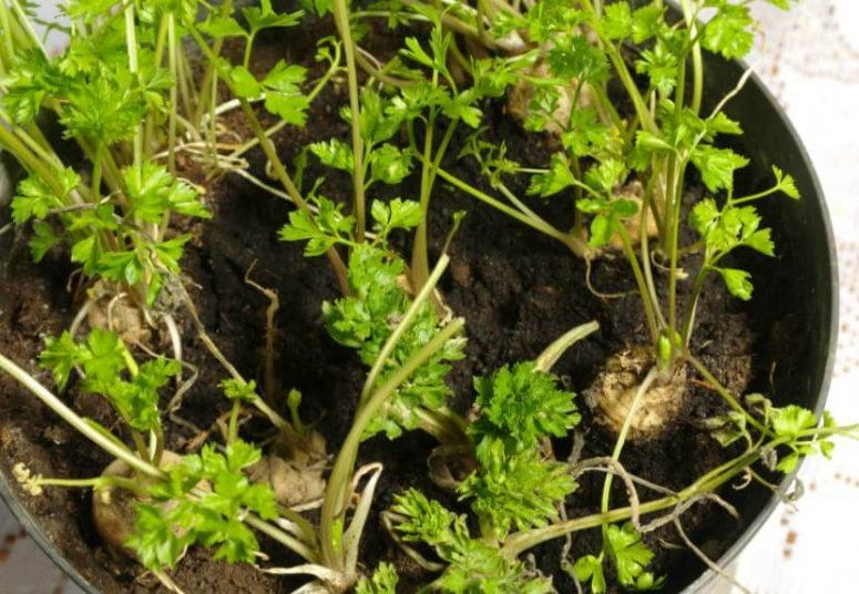 How to Grow Parsley