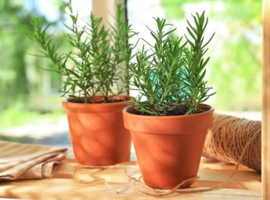 How To Grow Rosemary Easily