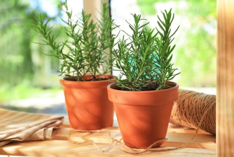 How to Grow Rosemary Easily