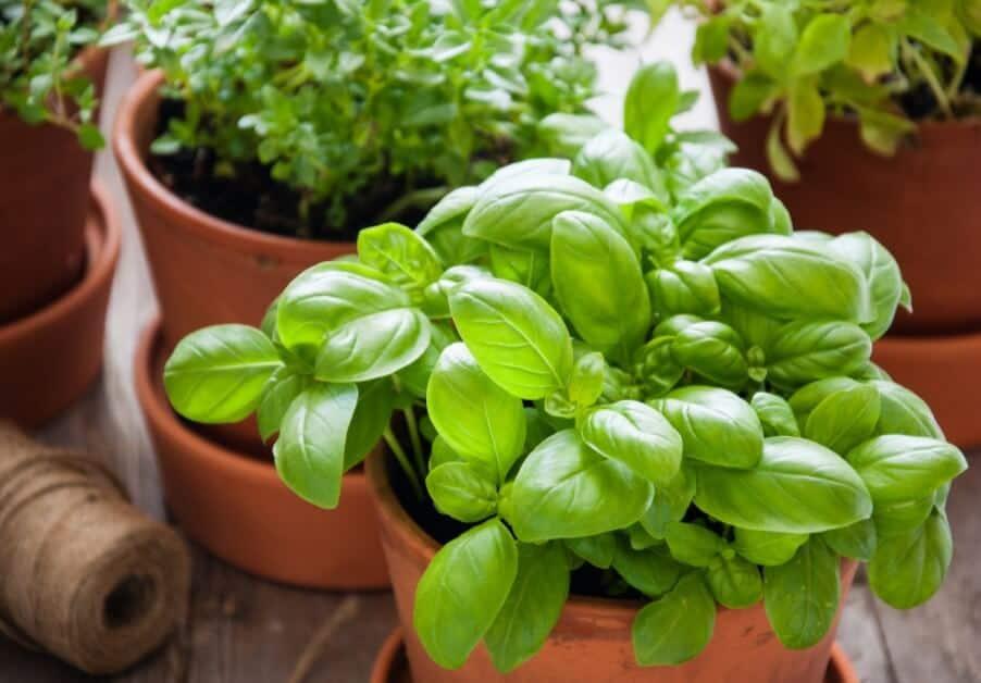 How to Grow Sage Easily