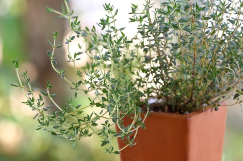 How to Grow Thyme Easily