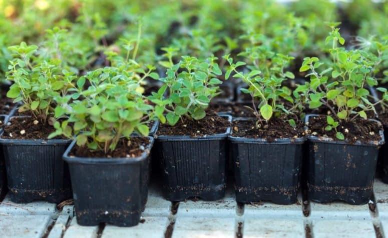 How To Grow Oregano In Pot