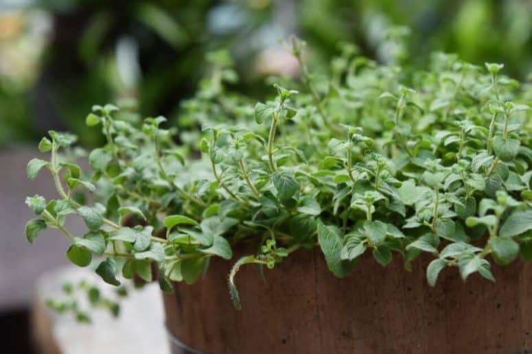 Oregano Plant Bush