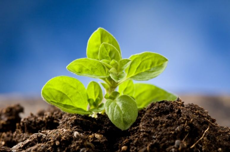 Oregano Plant Sprouting