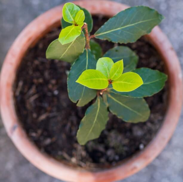how to take care of bay laurel plant